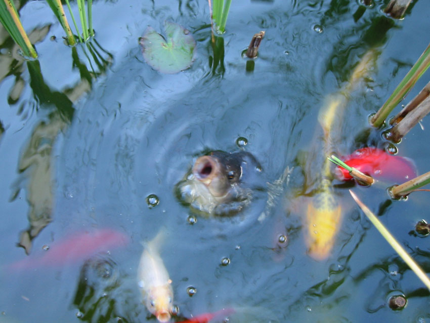 fische im winter im teich weiss fische im
